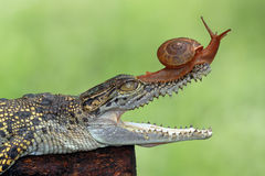 Snail in danger. Snail on the head of a crocodile stock photo