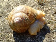 Snail defecating and resting on dry ground Stock Images