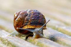 Snail with dewdrops Stock Photography