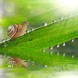 Snail on dewy grass Stock Photography