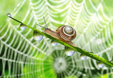 Snail on dewy grass Royalty Free Stock Photo