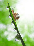 Snail on dewy grass Royalty Free Stock Photos