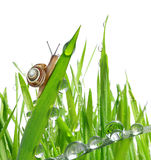 Snail on dewy grass Stock Images