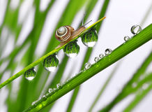 Snail on dewy grass. Small snail on dewy grass close up Royalty Free Stock Images