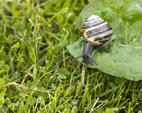 Snail on a Dock Leaf. Snail on a dock lea taken in a Scottish Garden Royalty Free Stock Images