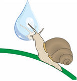 Snail and a drop. Snail looks at his reflection in a drop Stock Photo
