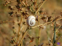 Snail on dry grass. Royalty Free Stock Image