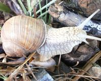 Snail. Early morning snail in a quick walk Stock Image