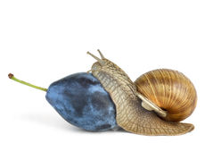 Snail eat plum berry Royalty Free Stock Photo