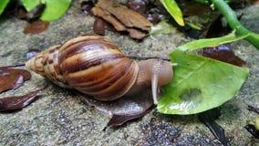 Snail eating fresh green  leaf in wet garden after rain fall. Snail eating fresh leaf in wet garden after rain fall Royalty Free Stock Photography