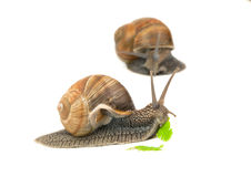 Snail eating Royalty Free Stock Images