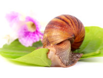 Snail eating green leaves Stock Image