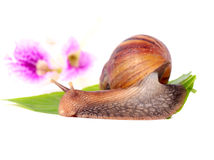 Snail eating green leaves Royalty Free Stock Image
