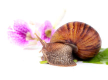 Snail eating green leaves Royalty Free Stock Images