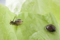 Snail eating a lettuce leaf. Snail eating a green lettuce leaf royalty free stock images