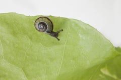 Snail eating a lettuce leaf. Snail eating a green lettuce leaf royalty free stock photos