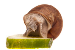 Snail eating piece of cucumber Stock Photos
