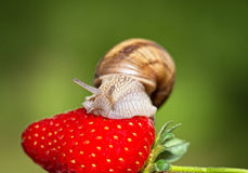 Snail eating a ripe strawberry Stock Image