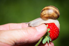Snail eating a ripe strawberry Stock Photos