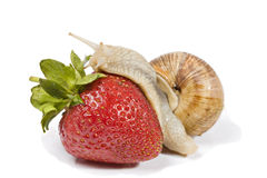 Snail eating strawberries Stock Photography