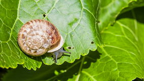 Snail Eats Green Leaf Stock Images