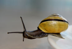 Snail on the edge stock photography