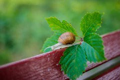 Snail on the edge of the bench with a leaf Stock Photography