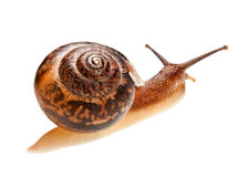 Snail (edible snail) Stock Photography