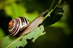 Snail in Edwards Gardens Royalty Free Stock Photo