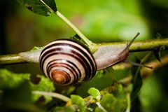 Snail in Edwards Gardens Royalty Free Stock Photo