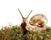 Snail en face Royalty Free Stock Photo
