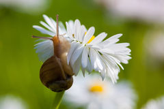 Snail on the English Daisy (Bellis perennis) Royalty Free Stock Image