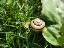 Snail escapes from the leaf. Snail escapes from green leaf to the thick grass Stock Photography