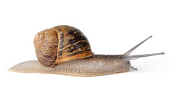 Snail escargot. Snail crawling at low speed Royalty Free Stock Images