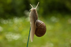 Snail experiment. Snail on the top of a vertical glass plate green garden background Royalty Free Stock Photo
