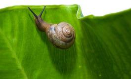 snail för klättring s uppåt Royaltyfri Foto
