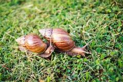 snail för regn för pomatia för spiral för crawlsimmarerankagräs Arkivbild
