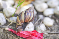 Snail on a fall flower. A snail `s eating a  flower Royalty Free Stock Photos