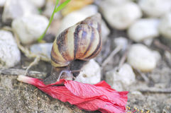 Snail on a fall flower. A snail `s eating a  flower Stock Photo