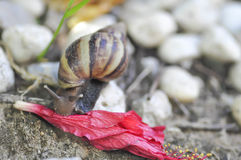 Snail on a fall flower. A snail `s eating a  flower Stock Image