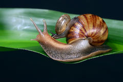 Snail family Royalty Free Stock Image