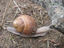 Snail-fashion model Stock Image