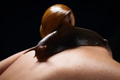 Snail on the female back on black background. Achatina fulica. Snail on women tanned skin back on a black background on black background Royalty Free Stock Image