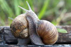 Snail fight. Close up of two snails on wooden board royalty free stock images