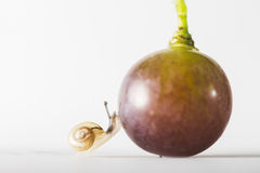 Snail Finding Grape. Macro photo of a snail finding a grape Royalty Free Stock Images
