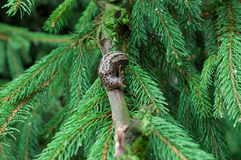 Snail on a fir branch. In summer royalty free stock photography