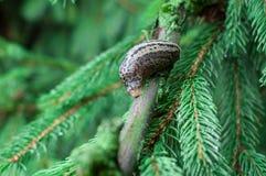 Snail on fir branch. Snail on a fir branch in summer Stock Image