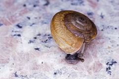 Snail on the floor Royalty Free Stock Image