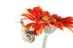 Snail on the flower Royalty Free Stock Images