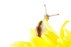 Snail on the flower Royalty Free Stock Photos